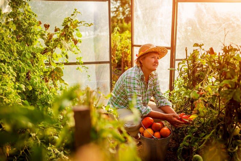 蕃茄资深妇女农夫汇聚庄稼在温室的农场的 种田,从事园艺的概念 免版税库存图片