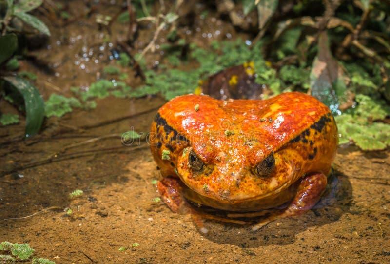 蕃茄青蛙,马达加斯加的地方病 库存照片