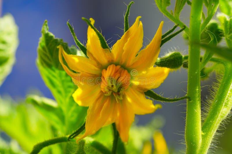 蕃茄黄色花在蕃茄果树园 免版税图库摄影