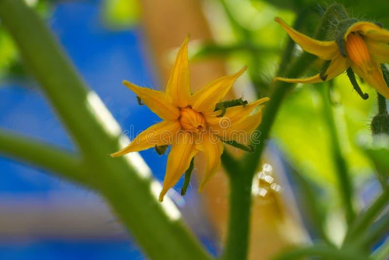 蕃茄黄色花在蕃茄果树园 库存图片
