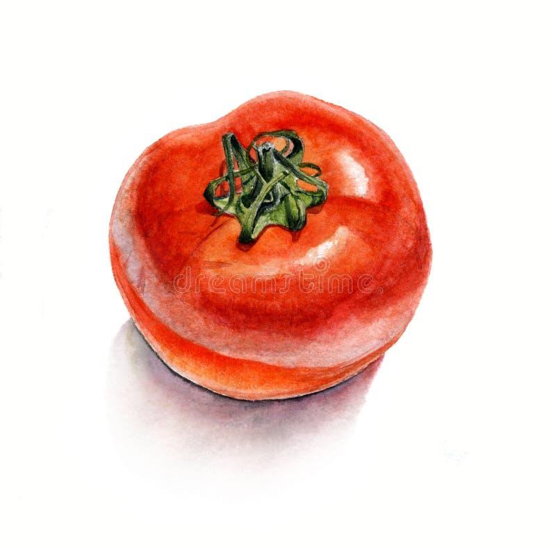 蕃茄 在白色背景的水彩绘画,被隔绝 皇族释放例证