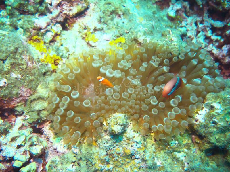 蕃茄clownfish、blackback anemonefish或者双锯鱼frenatus在海葵在石垣市北部  库存图片