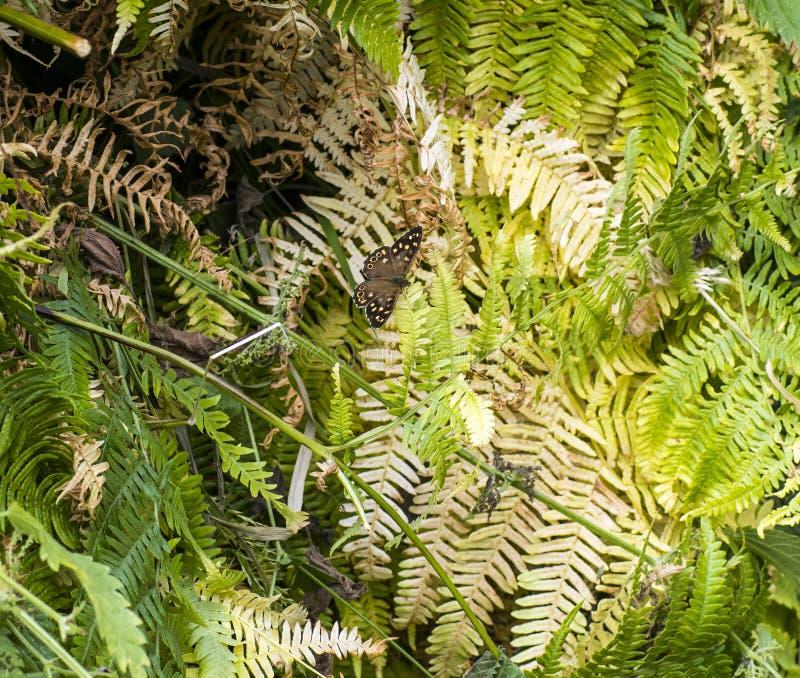 蕨伪装的有斑点的木蝴蝶Parage aegeria 库存照片