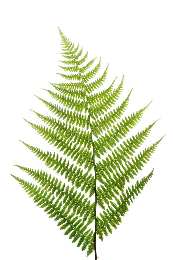 蕨叶子白色 免版税图库摄影