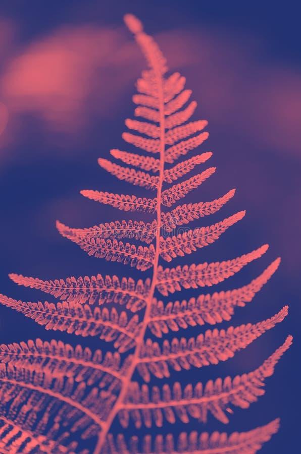 蕨叶子纹理在阳光下 绿色留下抽象自然背景 特写镜头 时髦duotone 免版税库存图片
