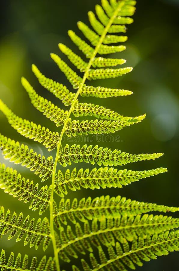 蕨叶子纹理在阳光下 绿色留下抽象自然背景 特写镜头 免版税库存照片
