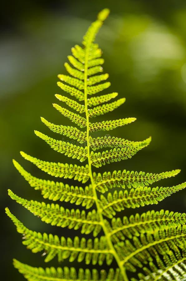 蕨叶子纹理在阳光下 绿色留下抽象自然背景 特写镜头 免版税图库摄影