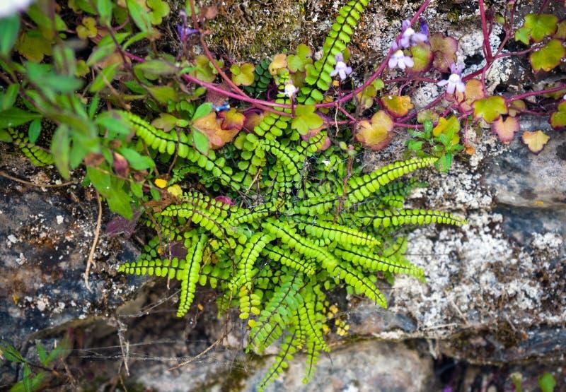 蕨和假山花园植物,增长狂放在墙壁上 免版税库存照片