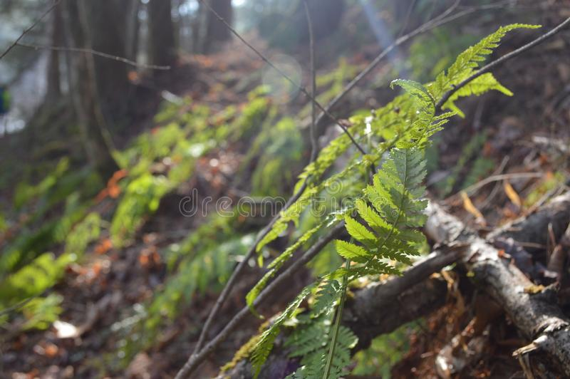 蕨和阳光在杉木森林里 免版税库存图片