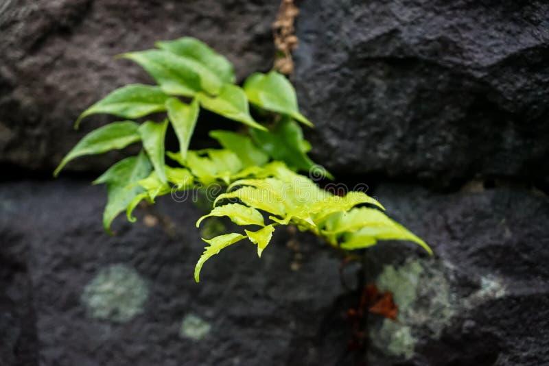 蕨在大岩石空白把生长留在豪华的日本庭院afte 免版税库存图片
