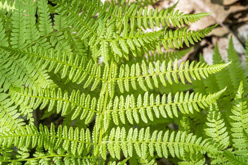 蕨在森林里构造 免版税库存图片
