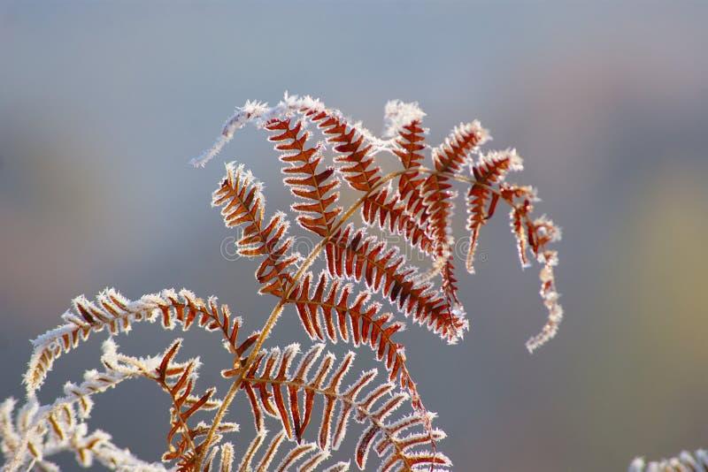冻蕨在秋天早晨 图库摄影