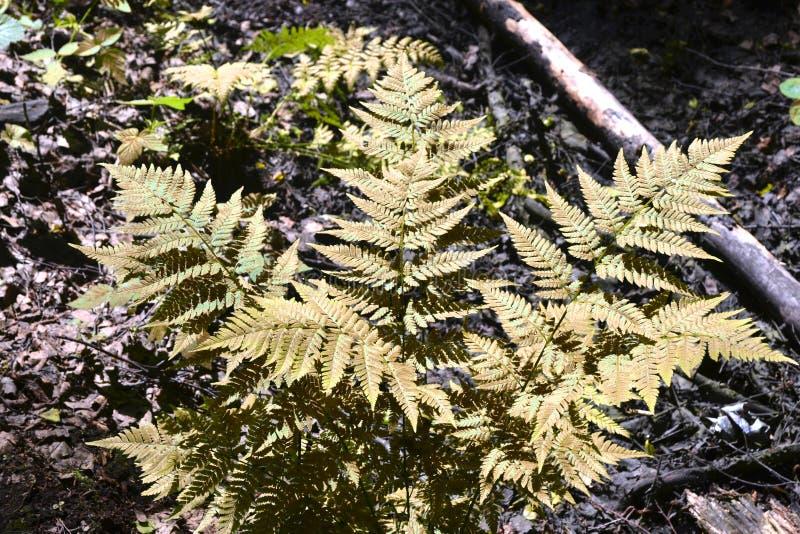 蕨在秋天退色的森林里,草 库存图片