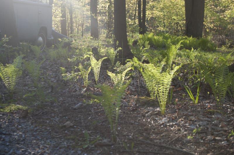 蕨在阳光下 免版税图库摄影