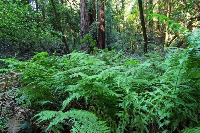 蕨在Muir森林 免版税库存图片