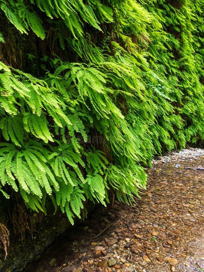 蕨峡谷在红木国家公园 库存照片