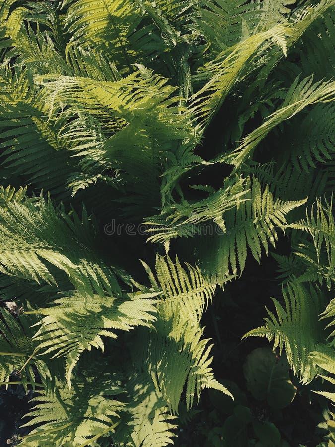 蕨树纹理 库存图片