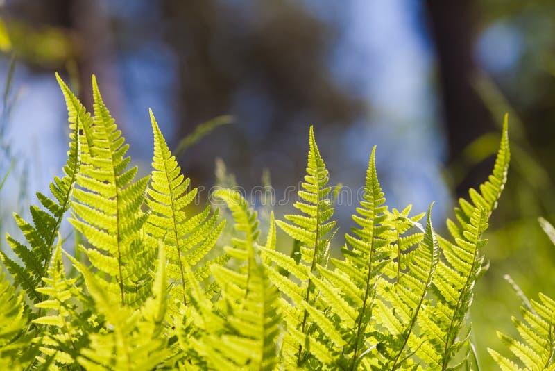 蕨浅绿色的年轻和新鲜的叶状体在五颜六色的自然森林和天空被弄脏的背景的 免版税库存照片
