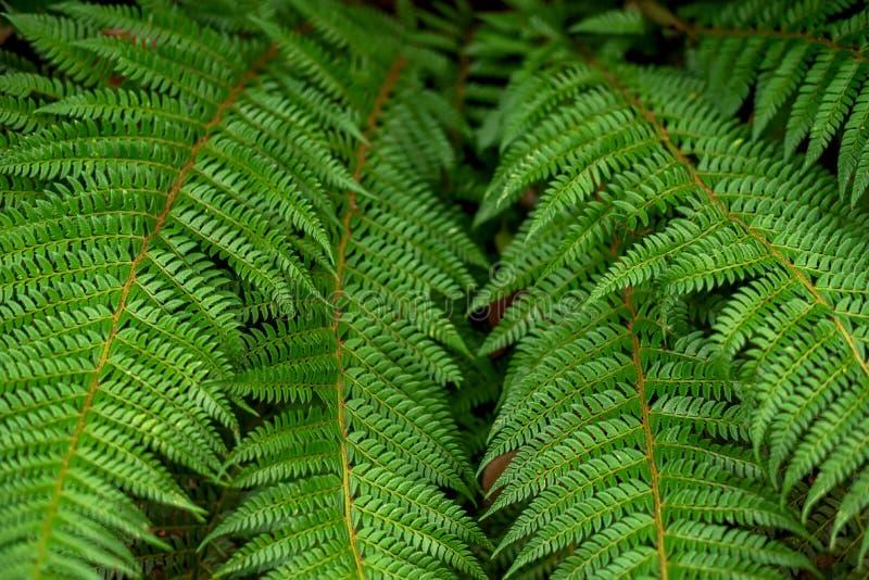 蕨的布什在夏天绿色森林离开 免版税库存图片