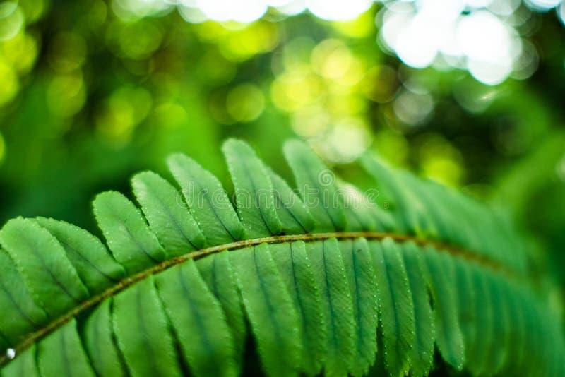 蕨种类绿色叶子在热带庭院里 免版税库存图片
