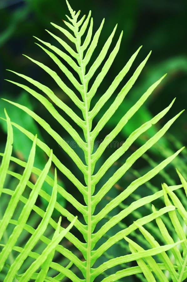 蕨类的叶子 免版税图库摄影