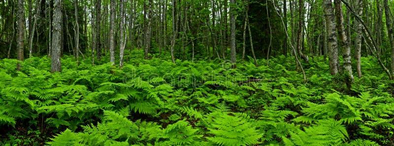 蕨类的森林 库存照片