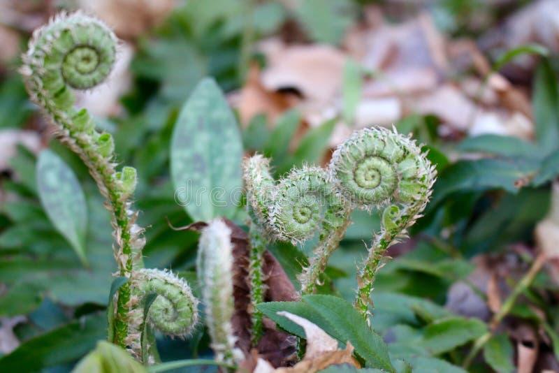 蕨羊齿卷牙松开入叶状体.图片