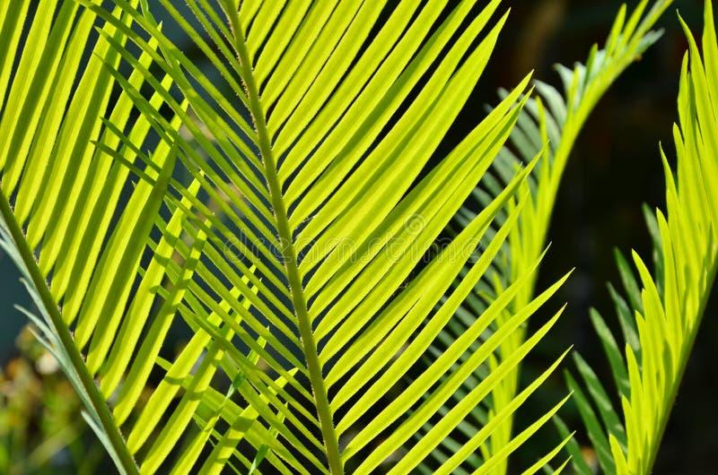 蕨美丽的新鲜的绿色叶子在光的 免版税库存照片