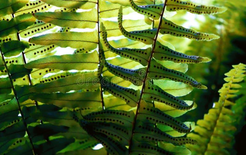 蕨通过夏天阳光留下种子纹理 异乎寻常的森林 免版税库存图片