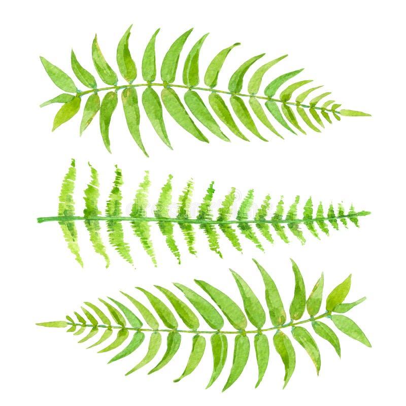 蕨集合绿色叶子  在白色背景隔绝的手拉的异乎寻常的绿叶 库存例证