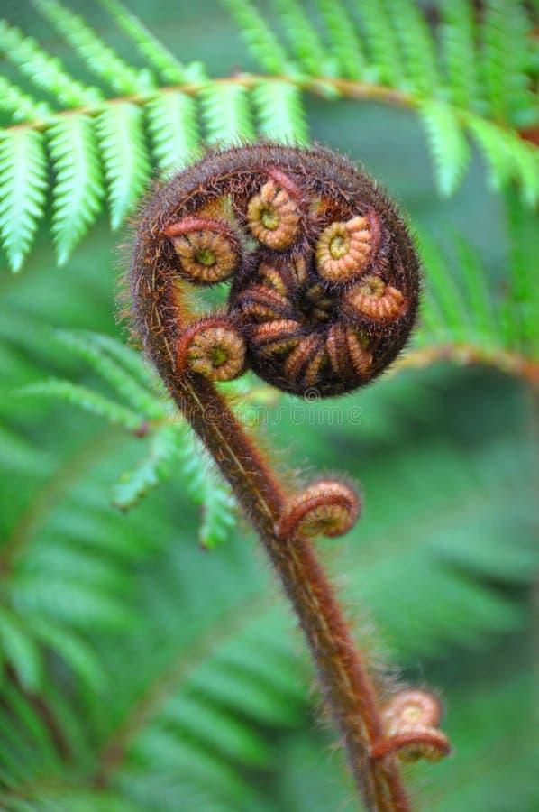 蕨koru新的符号结构树西兰 库存照片