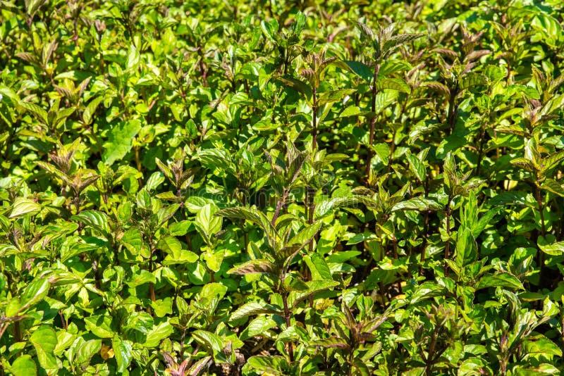 薄荷植物 免版税库存图片