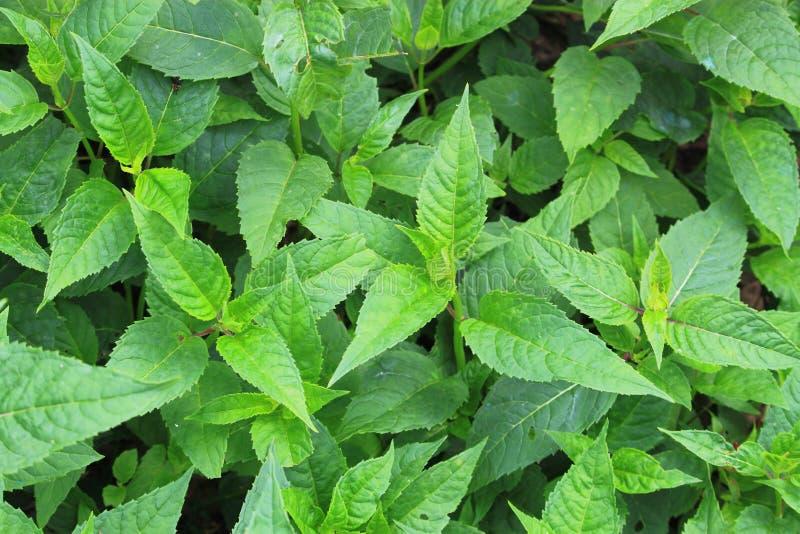 薄荷的植物 免版税库存图片