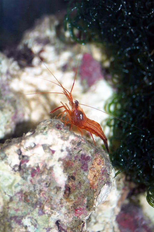 薄荷虾(Lysmata wurdemanni) 库存图片
