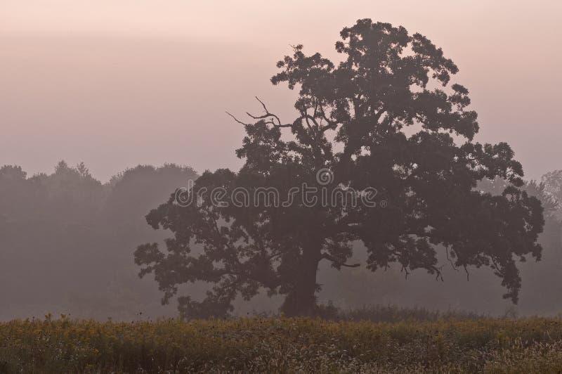 薄雾早晨结构树 免版税图库摄影