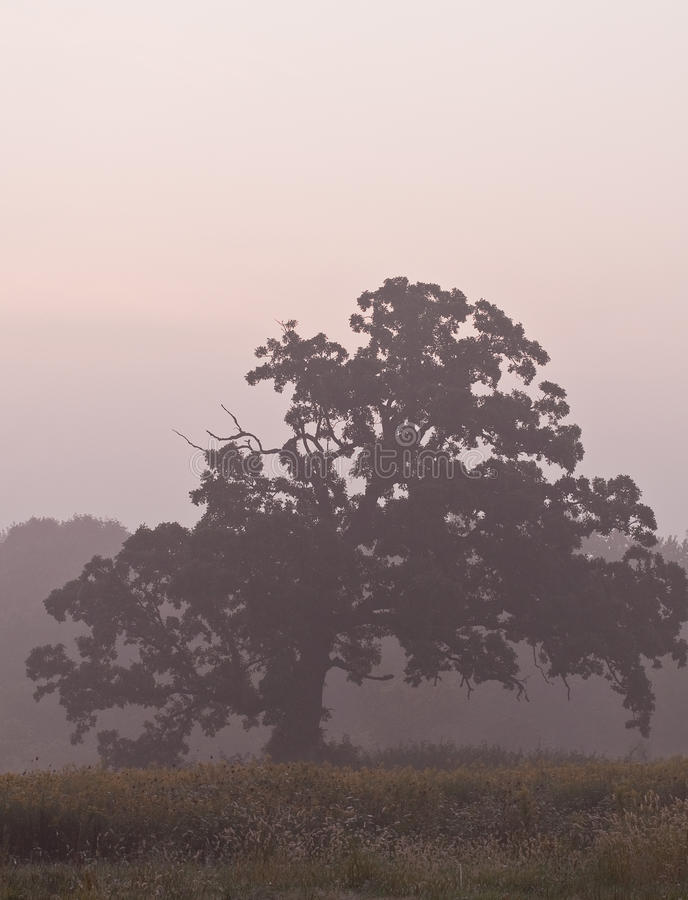 薄雾早晨结构树 库存图片