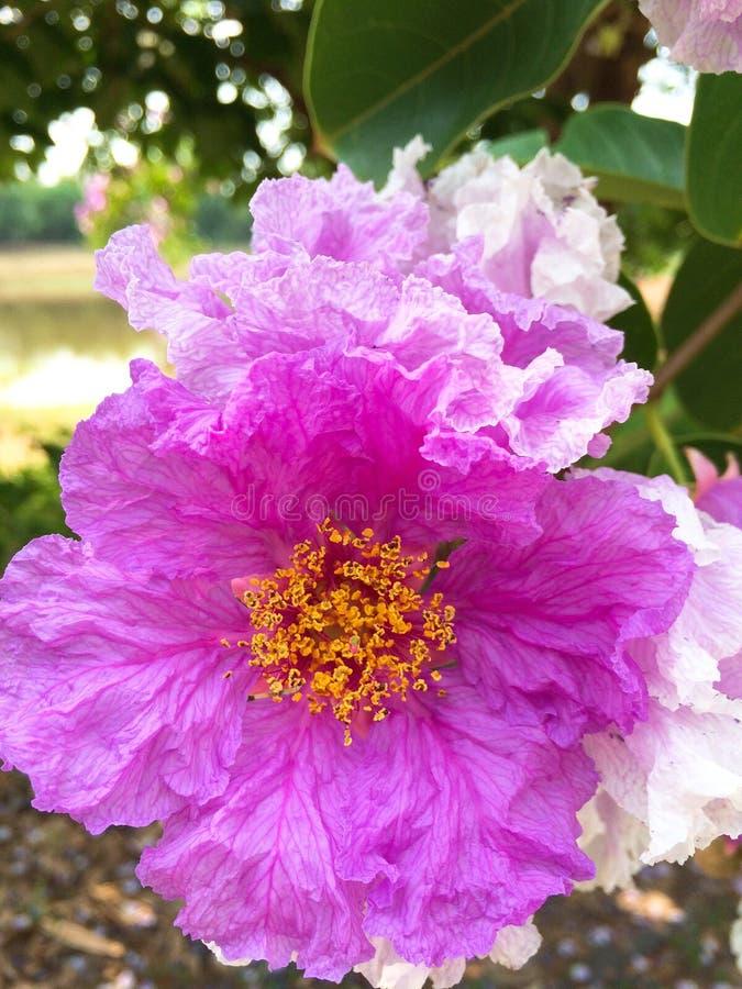 紫薇 免版税图库摄影