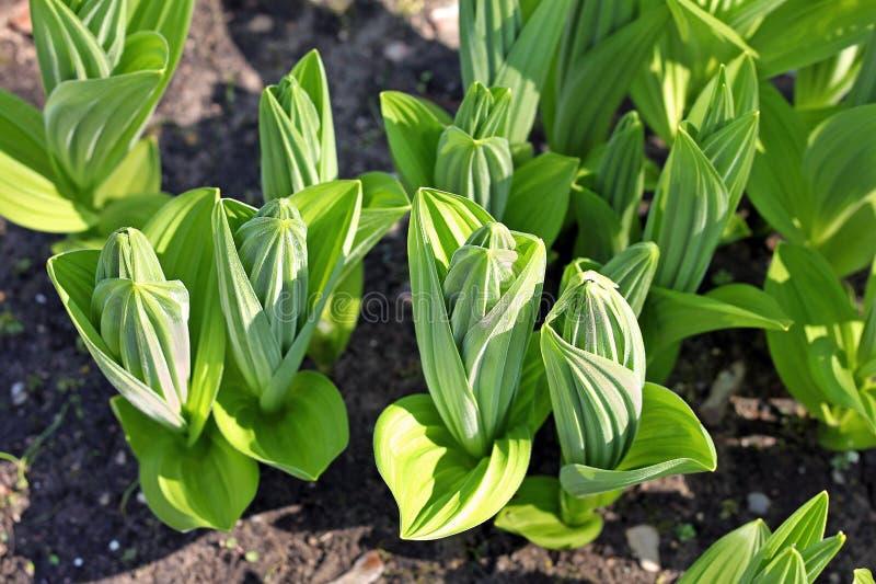 藜芦册页植物在春天 免版税库存照片