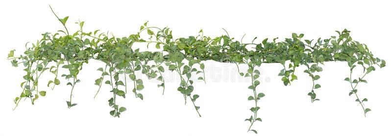 藤在白色背景,裁减路线离开,被隔绝的常春藤植物 免版税库存图片