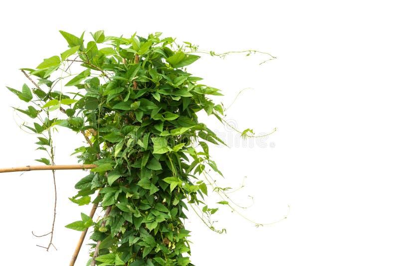 藤在白色隔绝的豇豆树 免版税库存照片