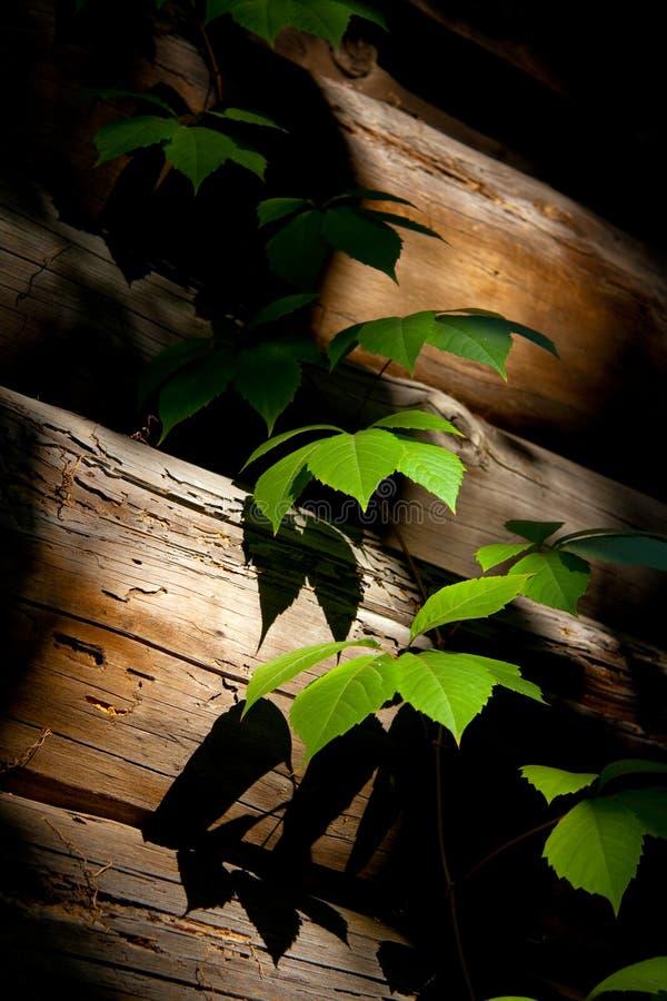 藤本植物 库存照片