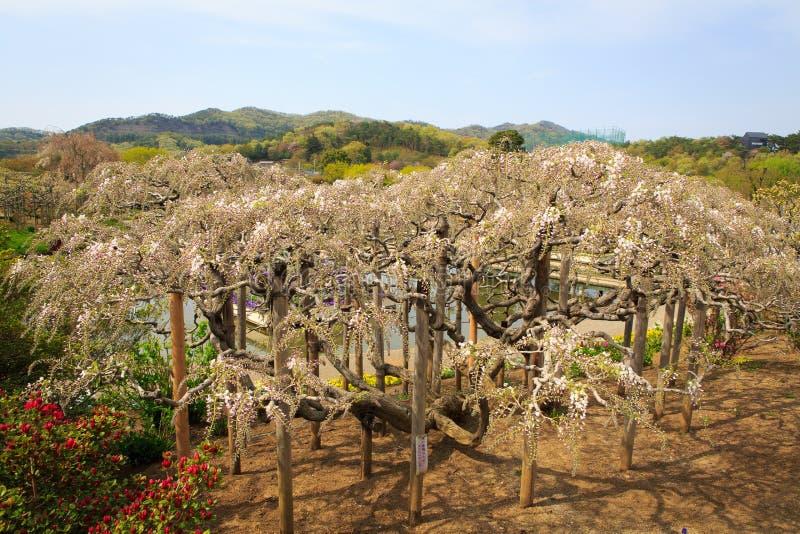 紫藤树 图库摄影