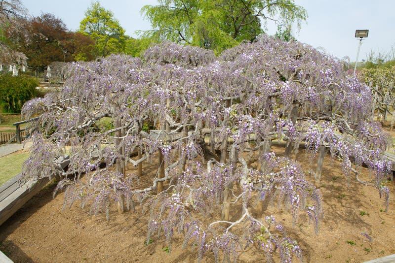 紫藤树 免版税库存照片