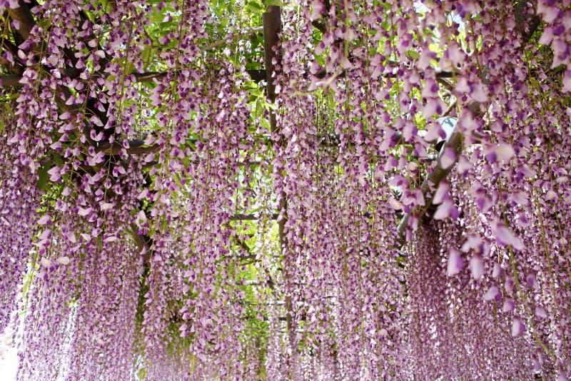 紫藤格子 免版税库存照片
