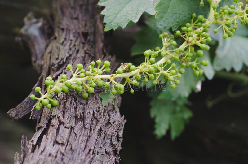 藤植物用小果实 库存图片