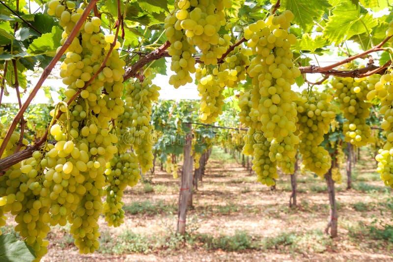 藤用成熟葡萄在葡萄园里 库存照片