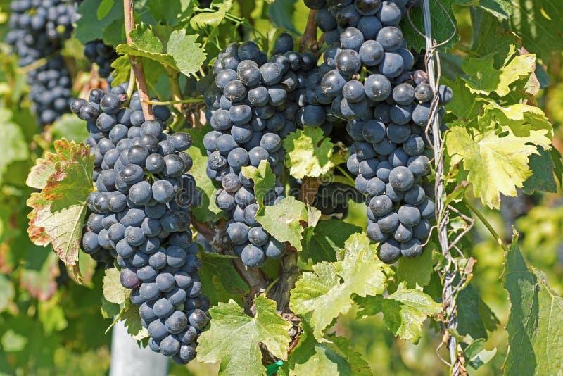 从藤的葡萄吊 有机葡萄在秋天 葡萄园在秋天收获的一个晴天 免版税库存图片