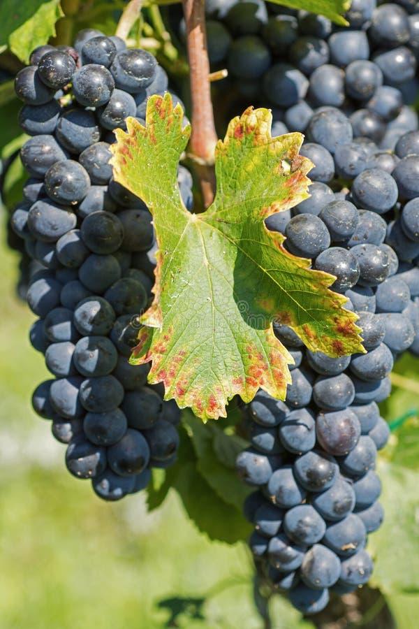 从藤的葡萄吊 有机葡萄在秋天 葡萄园在秋天收获的一个晴天 库存照片