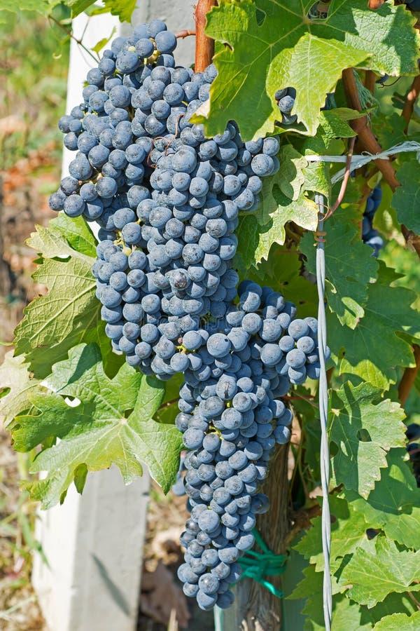 从藤的葡萄吊 有机葡萄在秋天 葡萄园 免版税库存照片