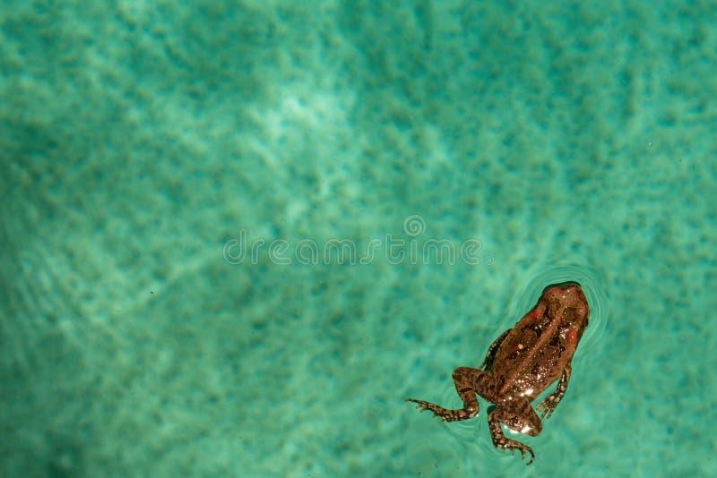 藤茎在后院游泳池的蟾蜍游泳 库存照片